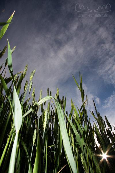 Weizenfeld von unten