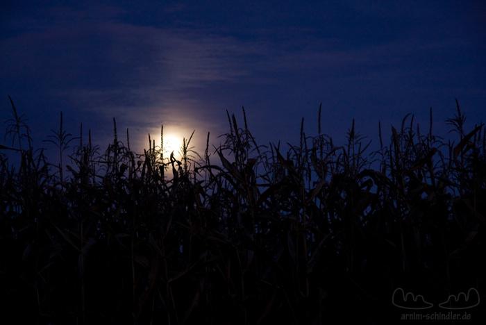 Maisfeld im Mondlicht