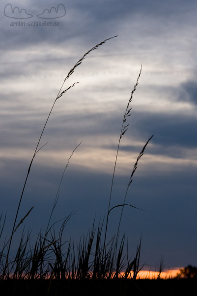 Gräser vor dem Abendhimmel