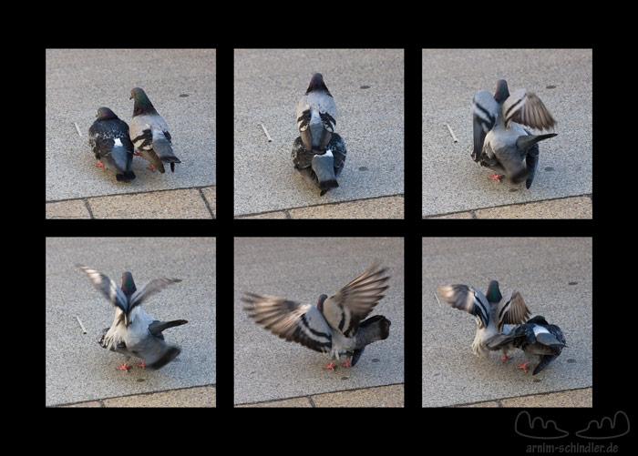 Tauben beim Vögeln