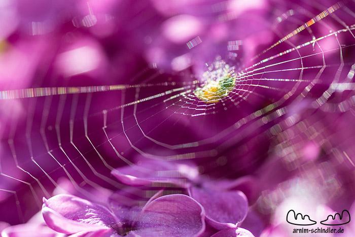 Spinnennetz im Flieder